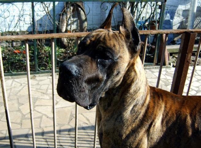 Loading in progress ... Brindle great dane Tithan, 2 years